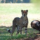 """I see you - Cheetah Dubbo Zoo"" by Leonah"