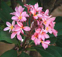 Pink Frangipani (5214) by ScenerybyDesign