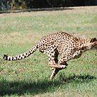 """On the run - Cheetah Dubbo Zoo"" by Leonah"