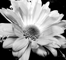 Valentine's Flower in Black and White by KimberlE