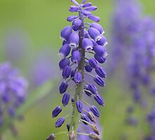 Delphinium Flowers by snehit
