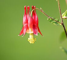 Columbine Flower by snehit