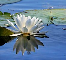 Water Lily by snehit