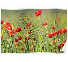 Poppy plantation Poster