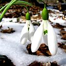 The first snowdrops by kindangel