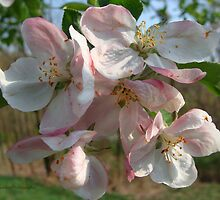 Apple Blossom Time by vigor