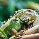 Green iguana by peterwey