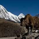 Wild Yak in the Himalayas by Mark Poulton