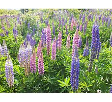 Larkin' About With Lupins Photographic Print