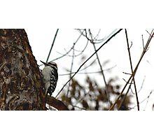 Hairy Woodpecker Photographic Print