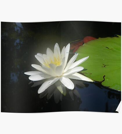 Waterlily with Damselfly Poster