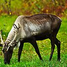 Caribou by Sally Winter