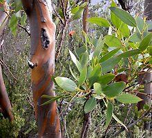 Cider Gums at Hanson's Track, Cradle Mountain, Tasmania, Australia. by kaysharp