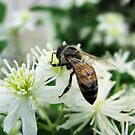 Dark Bee on White Flowers by shutterbug2010