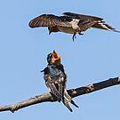 Welcome  Swallows by Kym Bradley