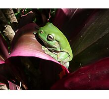 Green Tree Frog on Red Leaf Plant. Photographic Print