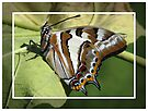 Tailed Emperor Butterfly - Polyura pyrrhus by Gabrielle  Lees