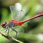 Red Dragonfly by Gabrielle  Lees