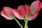 Blood Red Tulips by Renee Hubbard Fine Art Photography
