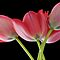 February Avatar ~ Tulips With A Black Background