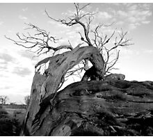 Dead outback tree Photographic Print