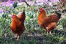Happy Chickens by Jo Nijenhuis