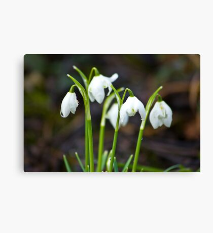 The Beauty of Snowdrops Canvas Print