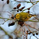 Adult Male Siskin by Robert Abraham