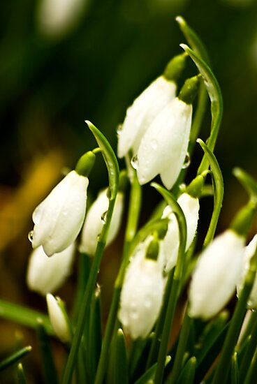 Snowdrops #2 by Trevor Kersley