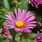 New England Aster by deb cole