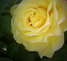 Yellow rose by Sarah Curtiss