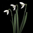 Snowdrops by Brian Haslam