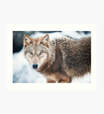 wolf (lat. Canis lupus) Art Print