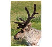 Caribou with antlers Poster
