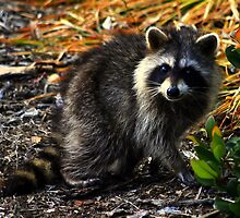 Baby Racoon by madman4