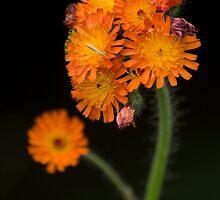 Orange Bouquet by Daniel  Parent