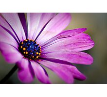 Pushing up daisy Photographic Print