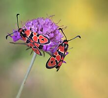 Zygaena fausta by jimmy hoffman