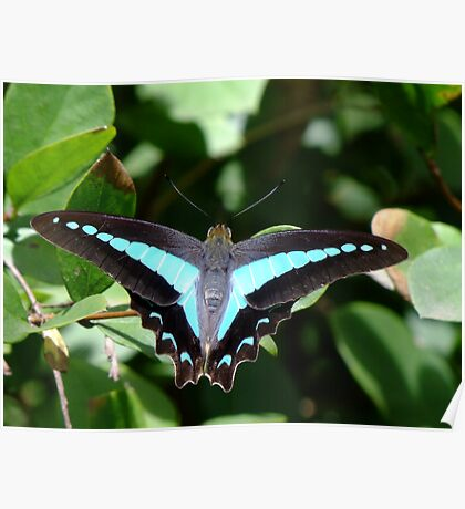 Blue Triangle Butterfly - Graphium sarpedon   Poster