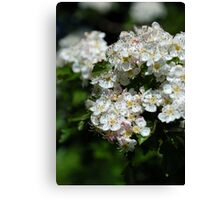 The Hawthorn in the Glen Canvas Print