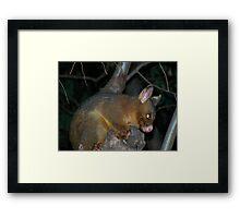 Ring-tailed Possum Framed Print