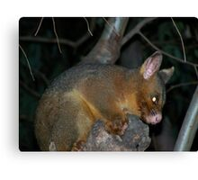 Ring-tailed Possum Canvas Print