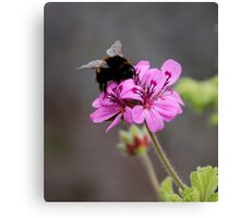 The Bumblebee and the Pelargonium Canvas Print
