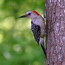 Female Red-bellied Woodpecker ~ Melanerpes carolinus  by Bonnie Robert