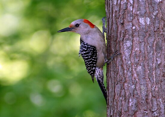 Female Red-bellied Woodpecker ~ Melanerpes carolinus  by Bonnie Robert