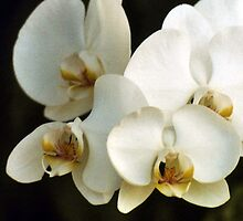 Orchids by blakcirclegirl