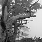 Foggy Trees - Point Reyes by smerlau