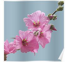 Pink Mallow Flowers Photo to Paint on Blue Poster