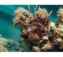 Dwarf lionfish Photographic Print