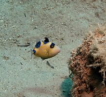 Pseudobalistes fuscus - Juvenile Bluelined Trigger fish by spyderdesign